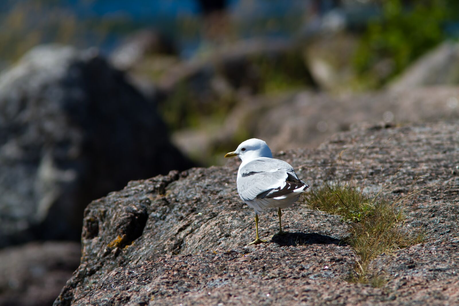 "Canon EOS 7D sample photo. ""Seagull, rock, stone"" photography"