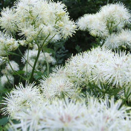 flowers, garden, snowballs, Fujifilm FinePix S5200