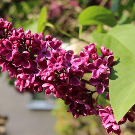 lilac, macro, blossom, Canon EOS 80D