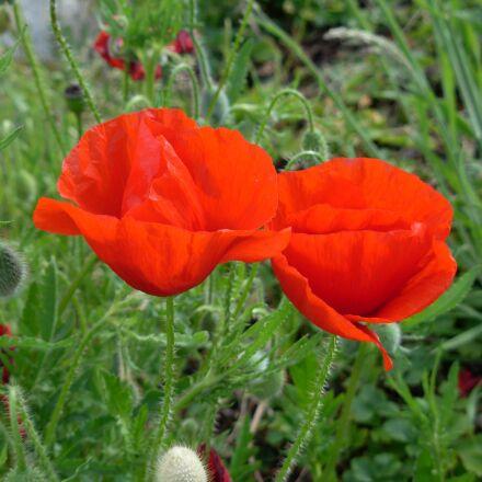flower, world war, summer, Nikon COOLPIX L5