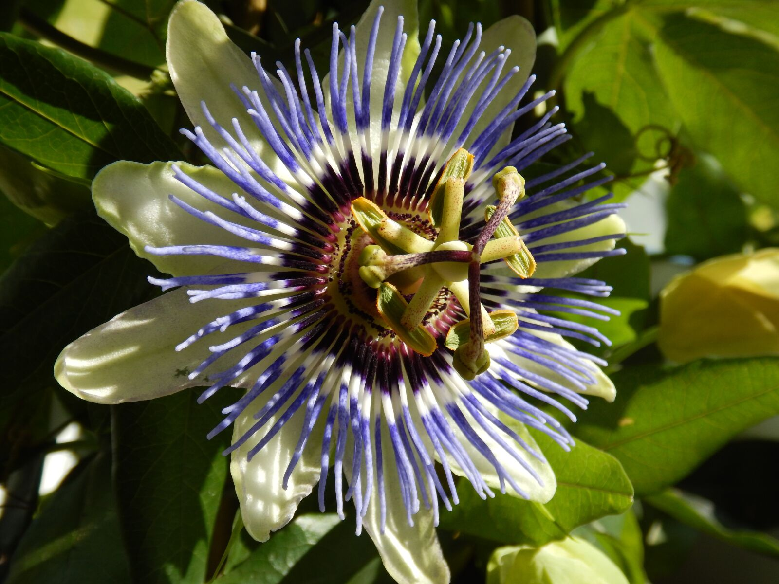 """Nikon Coolpix AW120 sample photo. """"Passion flower, close up"""" photography"""
