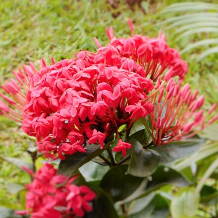 flower, garden, green, leaves, Nikon COOLPIX A300