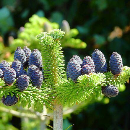 cones, tree, coniferous, Nikon COOLPIX P900