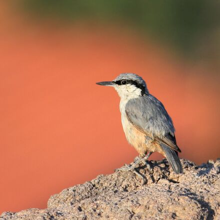 rock nuthatch, plasterer, nature, Canon EOS 600D