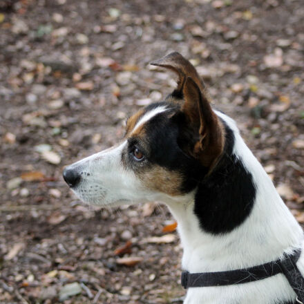 animal, dog, pet, jack, Canon EOS 1100D