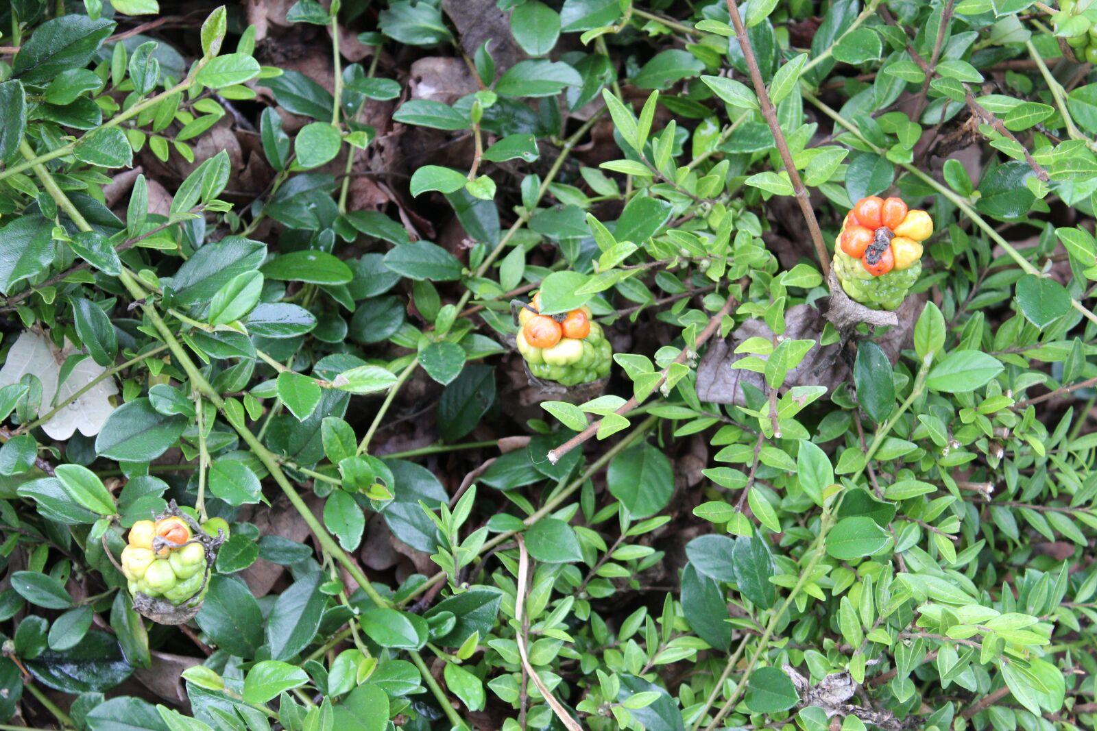"Canon EOS 600D (Rebel EOS T3i / EOS Kiss X5) sample photo. ""Flowers, nature, garden"" photography"