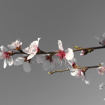apricot, april, beauty, blooming, Samsung GT-I9300I