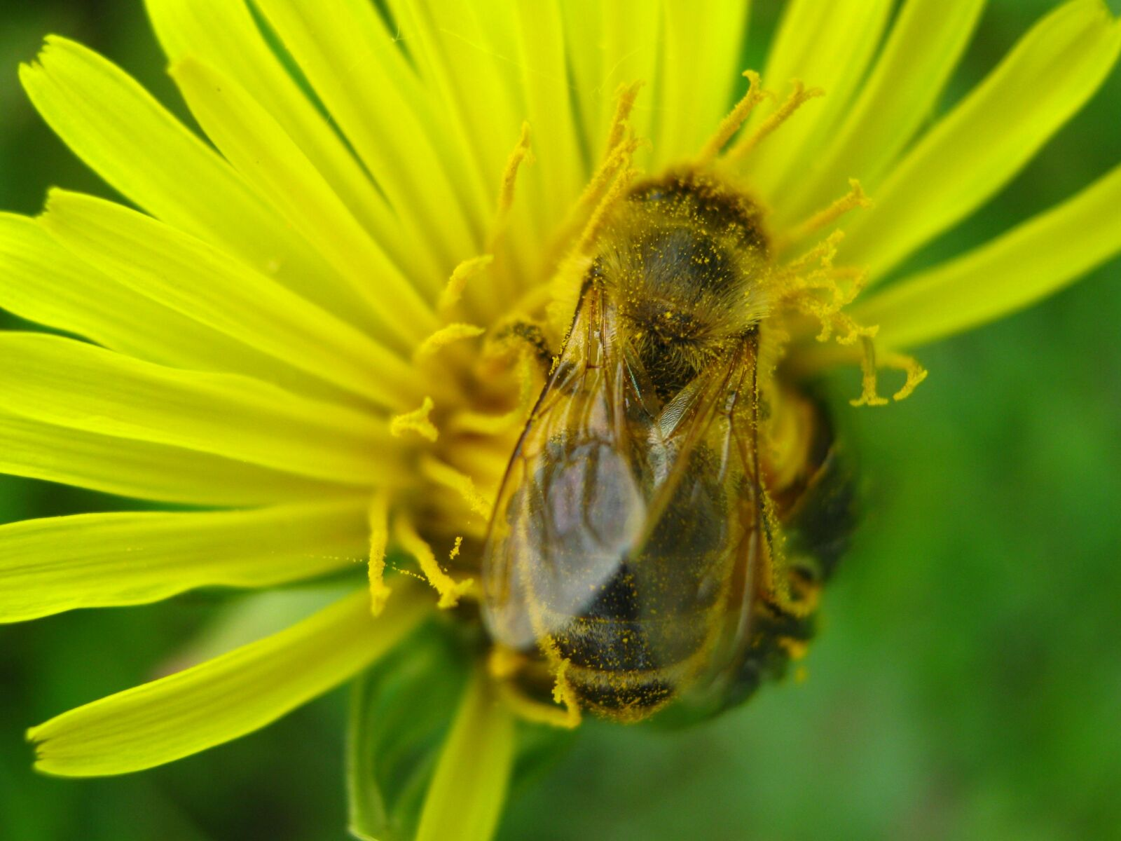 "Canon PowerShot A470 sample photo. ""Bee, flower, nectar"" photography"