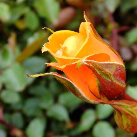 garden, orange, flower, rose, Fujifilm FinePix F900EXR