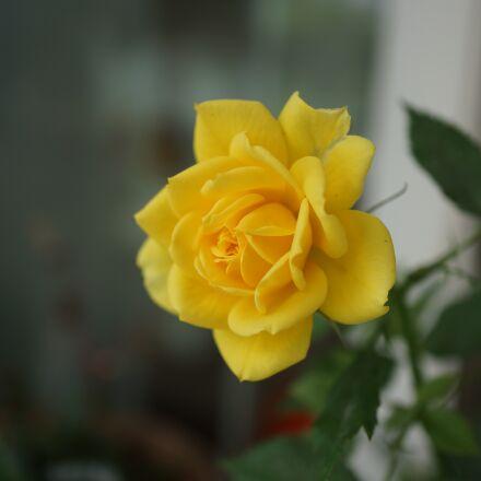 yellow, jasmine, plant, Sony NEX-7