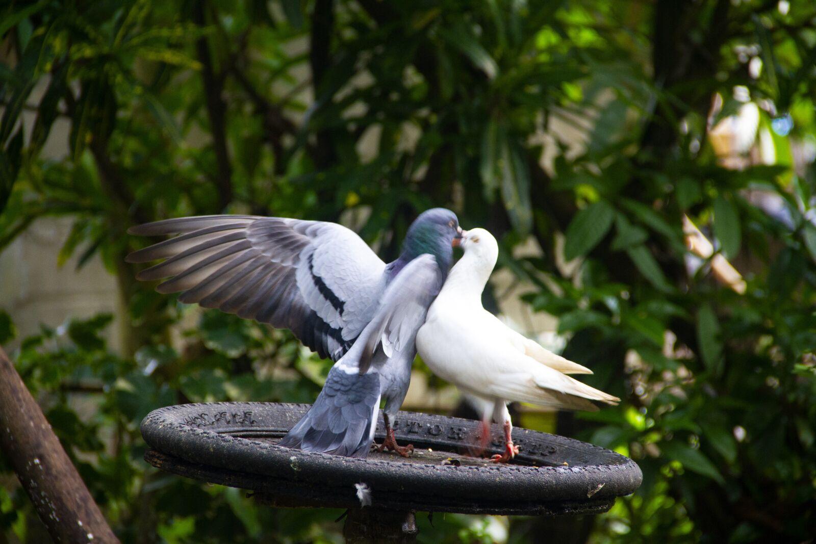 "Canon EOS 7D sample photo. ""Pigeon, bird, dove"" photography"