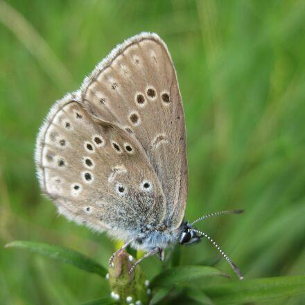 butterfly, endangered, hunner ds, Canon DIGITAL IXUS 85 IS