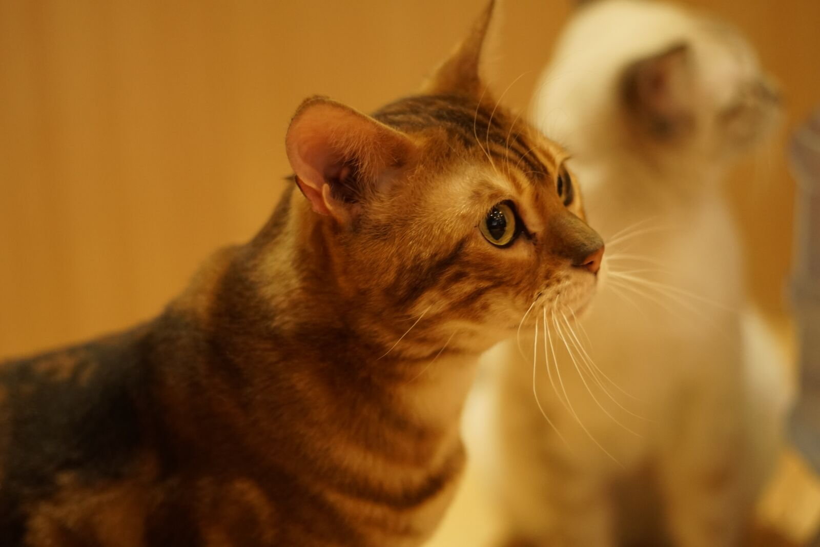 "Sony a6000 sample photo. ""Cat, animal, cute"" photography"