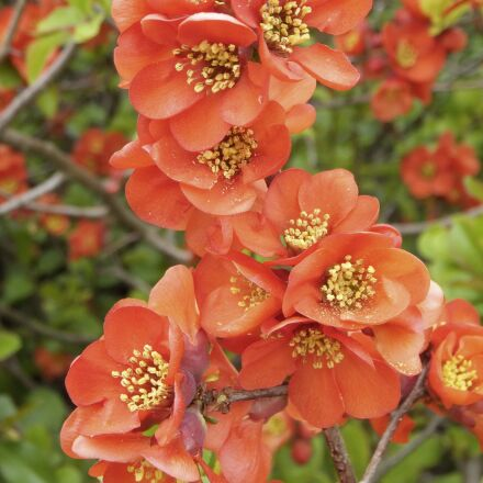 chaenomeles japonica, ornamental quince, Fujifilm FinePix F550EXR