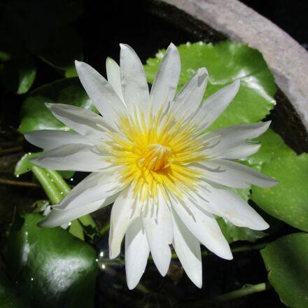 lotus, bali, indonesia, Canon IXUS 155