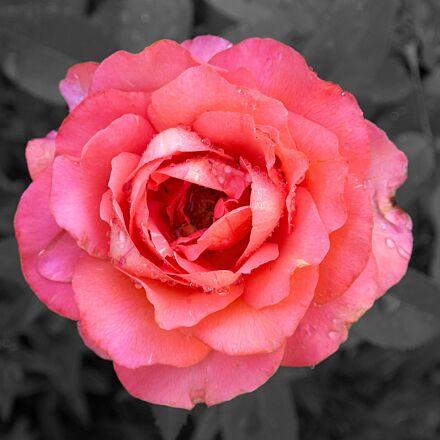 rose, close up, blossom, Nikon 1 V2