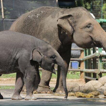 animals, elephant, nature, Canon EOS 5D MARK III