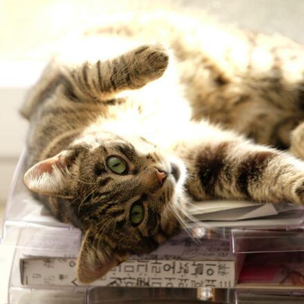 cat, mackerel, at home, Fujifilm X-T1