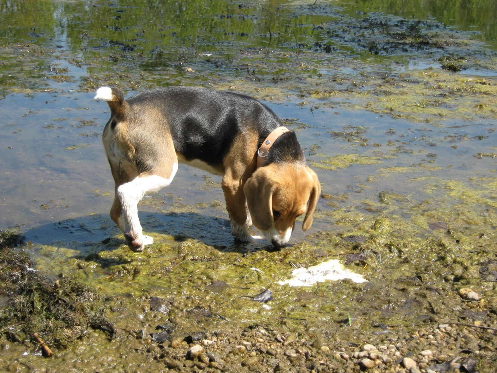 "Canon PowerShot A470 sample photo. ""Beagle, dog, water"" photography"