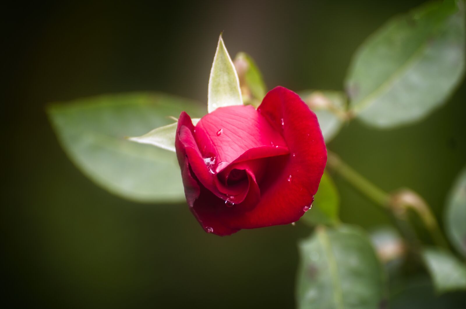 "Nikon D7200 sample photo. ""Rosa, plant, flower"" photography"