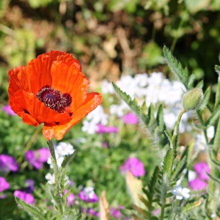 poppy, spring meadow, meadow, Canon EOS 1100D