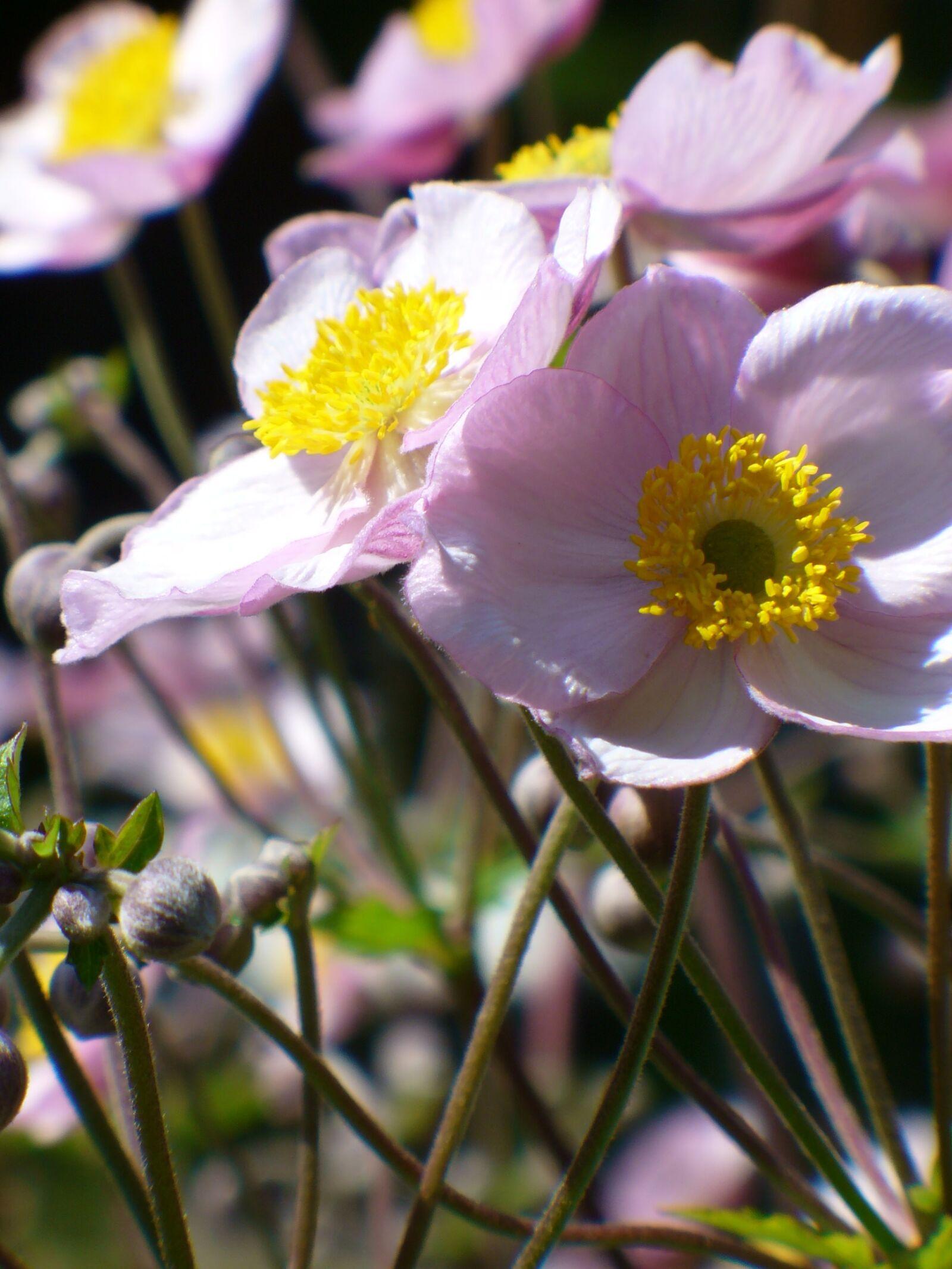 "Panasonic DMC-LZ1 sample photo. ""Fall anemone, flower, bloom"" photography"