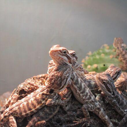 reptile, lizards, terrarium, Canon IXUS 155