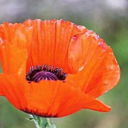 poppy, poppy flower, red, Canon EOS 1100D