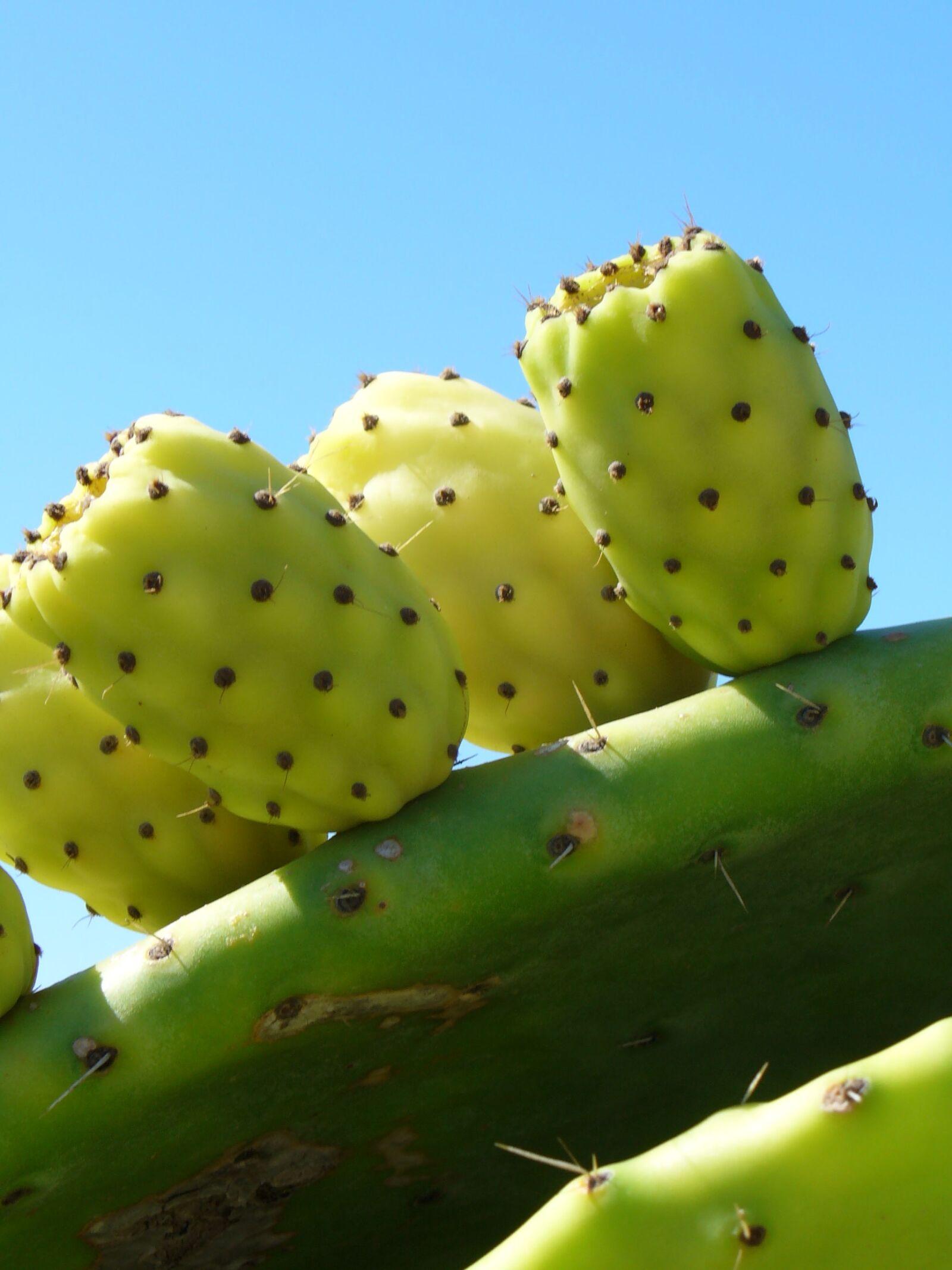 "Panasonic DMC-LZ1 sample photo. ""Cactus, fruit, cactus greenhouse"" photography"