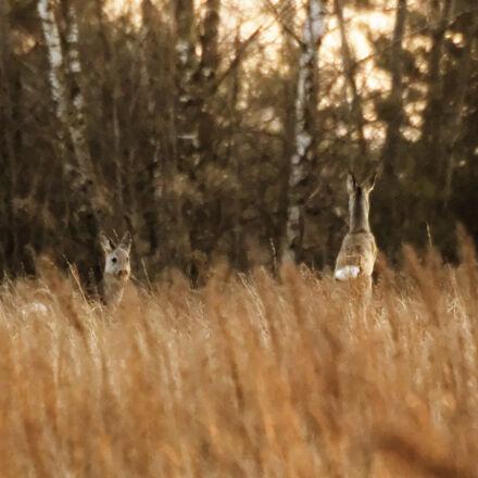 deer, roe, roe, deer, Nikon D3200