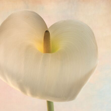 arum lily, lily, flower, Canon EOS 5D MARK II