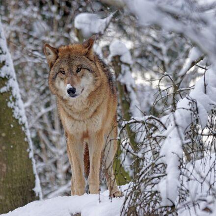 wolf, mongolian, mongolian wolf, Sony ILCA-77M2