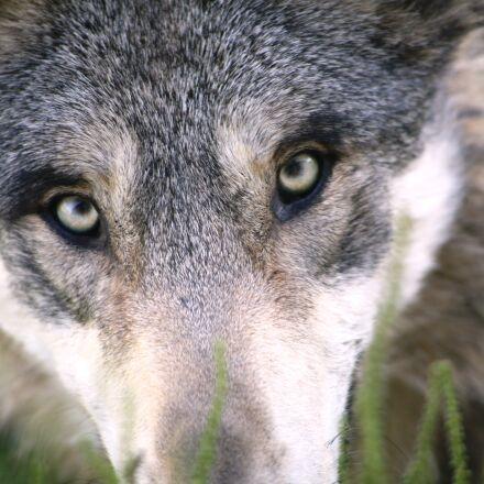 wolf, Canon EOS 5D