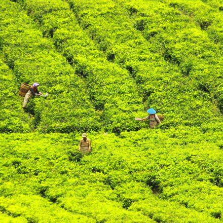 tea pickers, tea, green, Canon EOS 600D