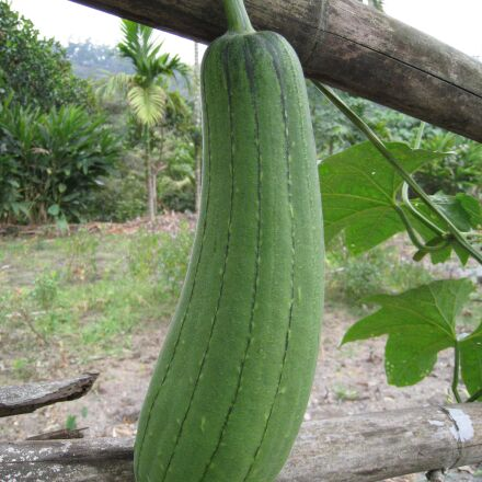 sponge gourd, snake melon, Canon DIGITAL IXUS 860 IS