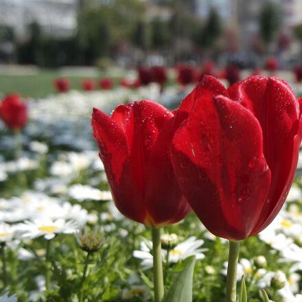 flowers, tulips, Samsung NX3000