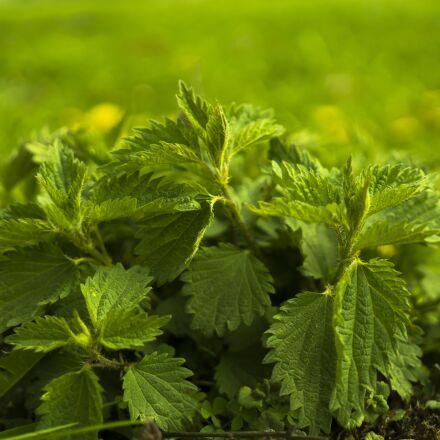 stinging nettle, nature, spring, Sony ILCE-6300