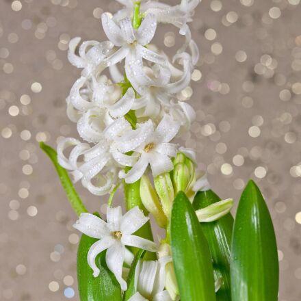 hyacinth, flower, flowers, Canon EOS 5D MARK II