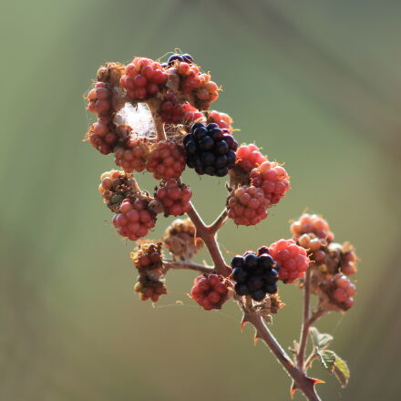 blackberry, bogurtlen, Canon EOS 1100D
