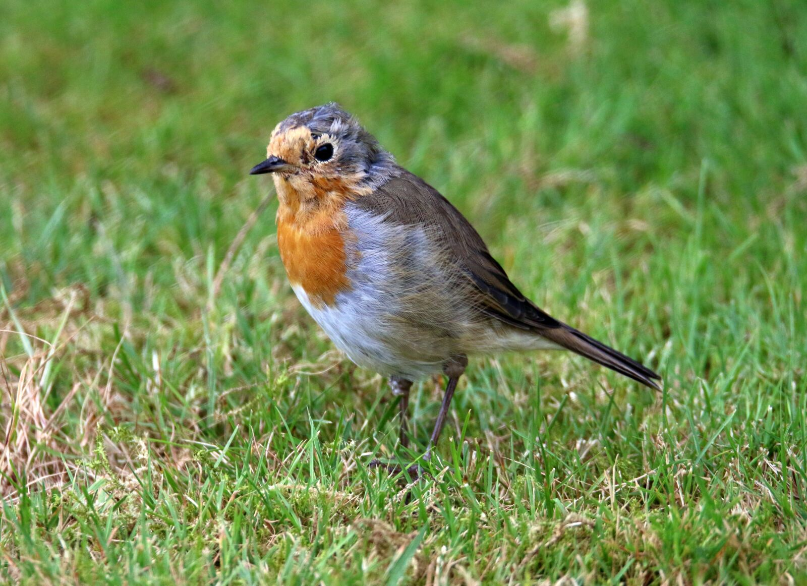 """Canon EOS 70D sample photo. """"Robin, bird, young bird"""" photography"""