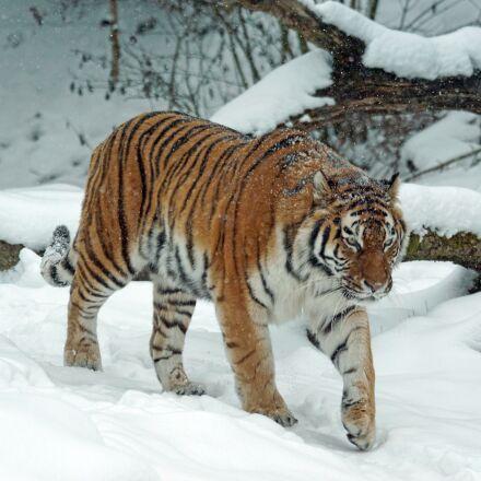 tiger, amurtiger, predator, Sony ILCA-77M2