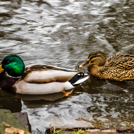 beaks, ducks, feathers, river, Canon EOS 7D