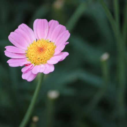 marguerite, pink, individually, Canon EOS 1100D