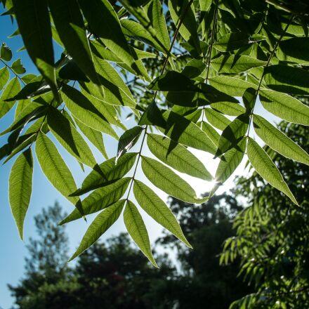 backlight, leaves, sun, Fujifilm X-Pro1
