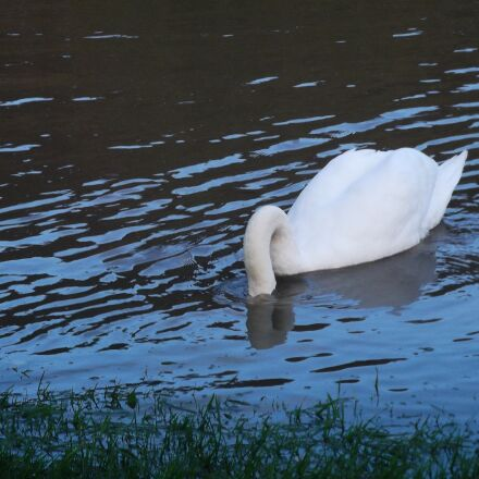 swan, water bird, animal, Fujifilm FinePix AX250