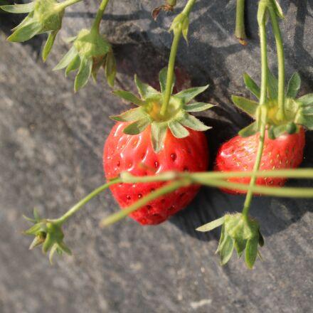 strawberry, fruit, green, Canon EOS 750D