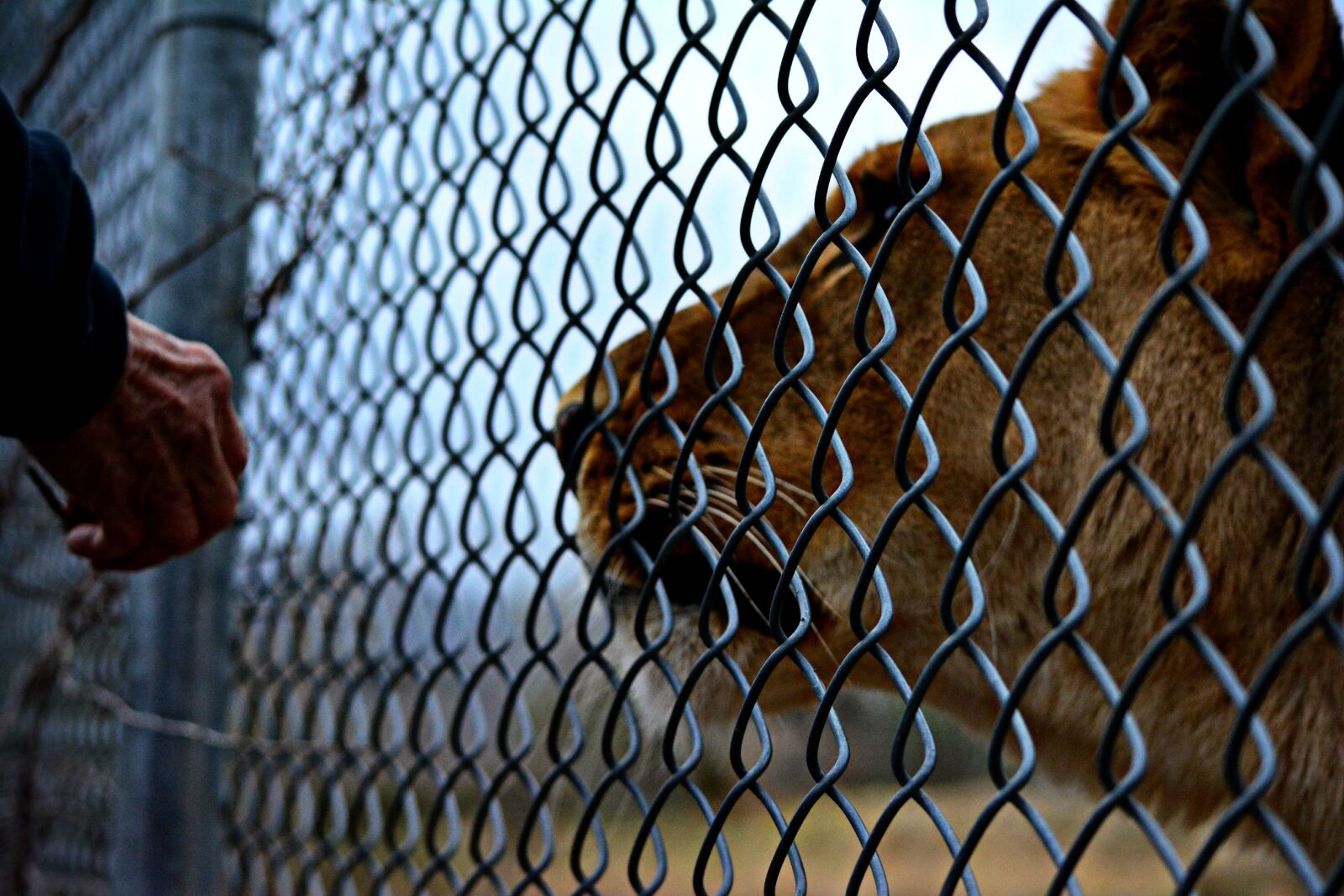 "Nikon D5200 sample photo. ""Africananimals, fence, hand, lion"" photography"