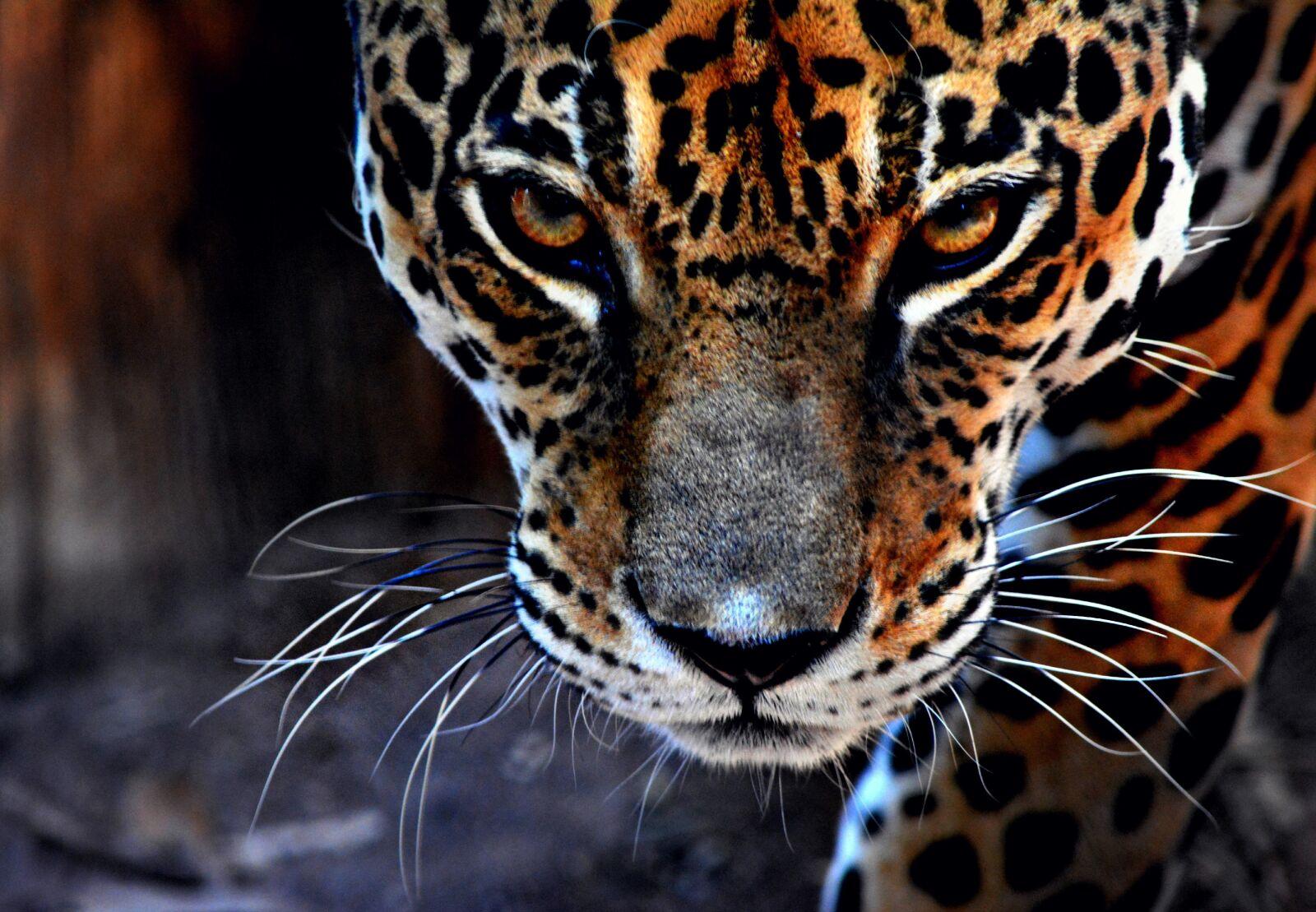 """Nikon D5200 sample photo. """"Bigcat, bigcats, jaguar, jaguars"""" photography"""