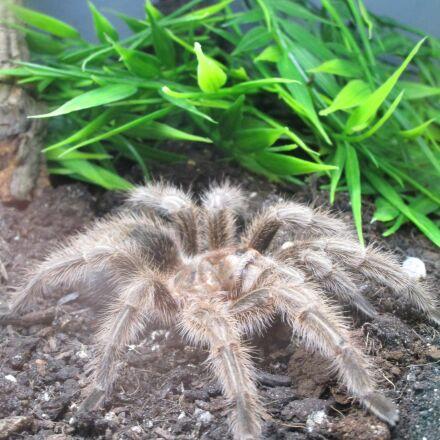 spider, giant spider, terrarium, Canon IXUS 155
