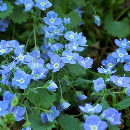 flowers, blue flowers, flowers, Nikon COOLPIX L330